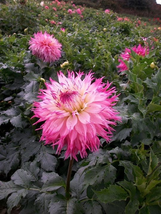 Dahlias, Blossom, Bloom, Flowers, Color, Flower