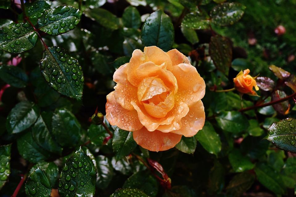 Rose, Orange, Color, Drip, Drop Of Water, Rose Bloom