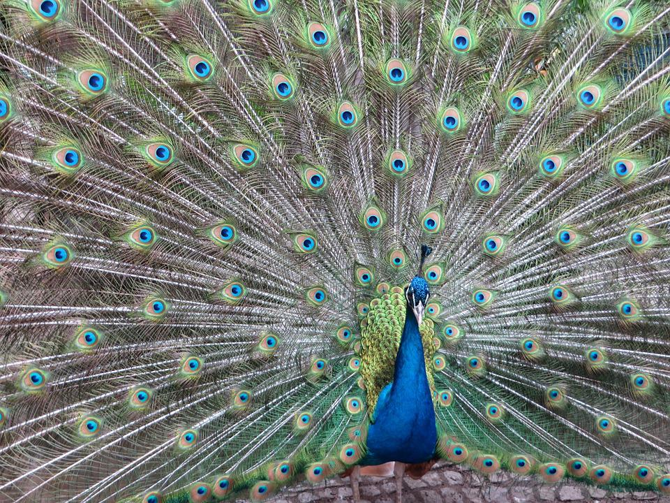 Peacock, Bird, Plumage, Color, Colorful, Feather