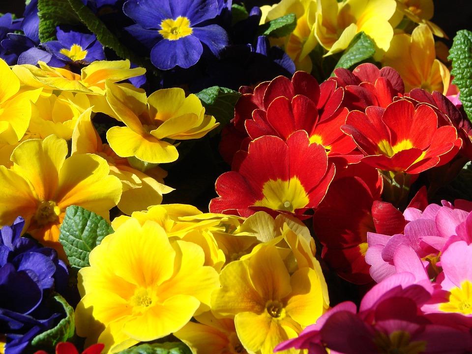Flower, Nature, Garden, Flora, Color, Primrose, Spring