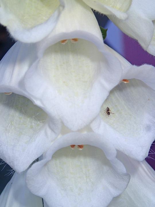 Foxglove, White, Flower, Color, Nature, Blossom