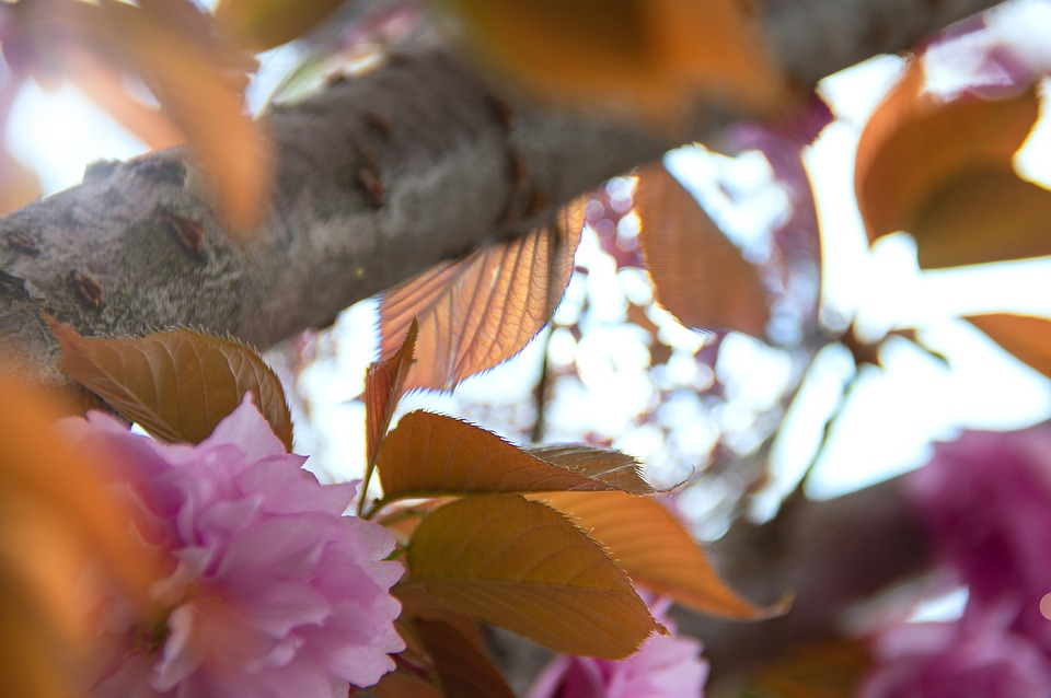 Pink, Japan Cherry, Flower, Spring, Fresh, Wood, Color