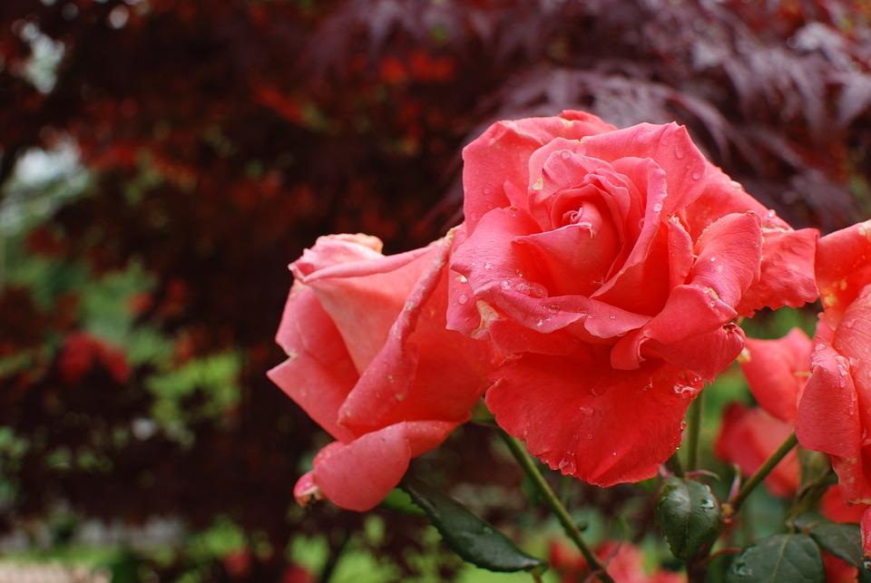Flower, Nature, Flora, Leaf, Rose, Garden, Petal, Color