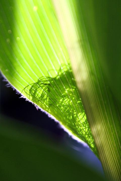 Corn, Transparency, Leaf, Holiday, Seasonal, Color