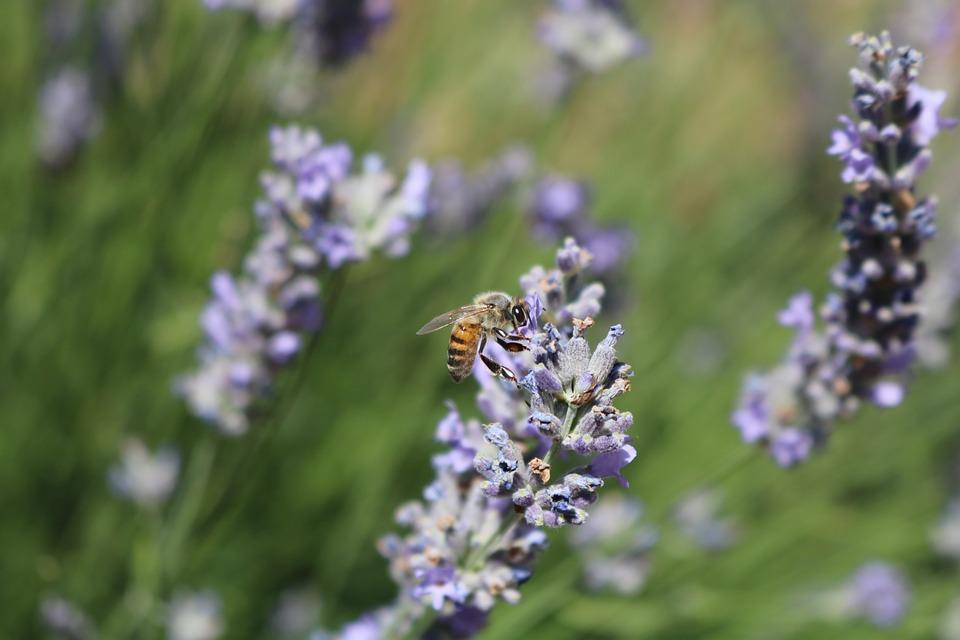 Bee, Turkey, Macro, Lavender, Flower, Spring, Color