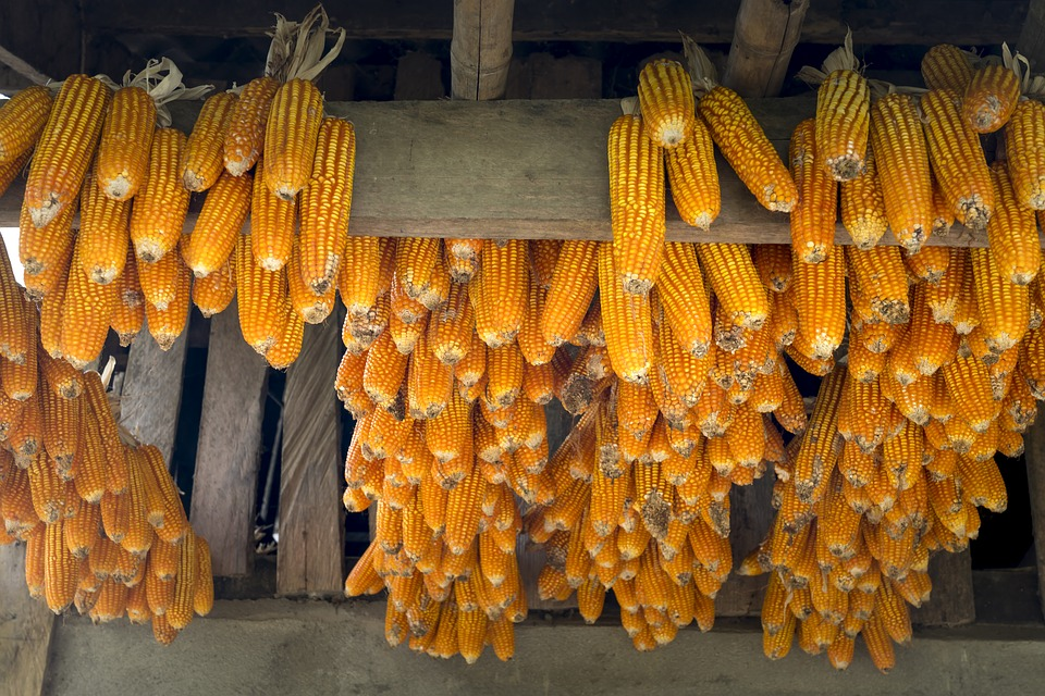 Corn, Vietnam, Natural, Color, Food, Closeup, Gold