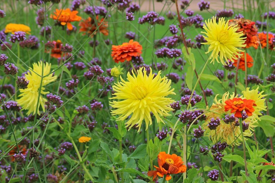 Dahlias, Flower Bed, Garden, Flowers, Color, Nature