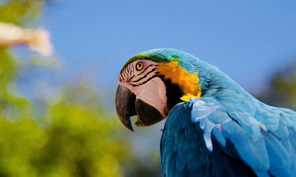 Parrot, Ara, Blue Macaw, Beak, Bird, Color