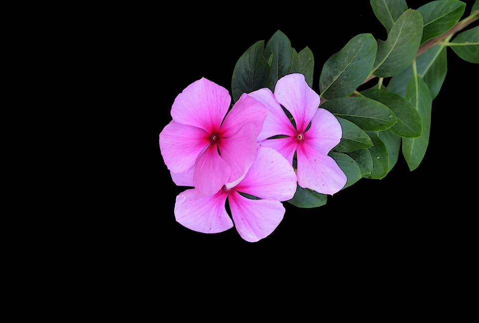Free photo color pink flowers black background tapeworm flower max pink flowers black background color flower tapeworm mightylinksfo