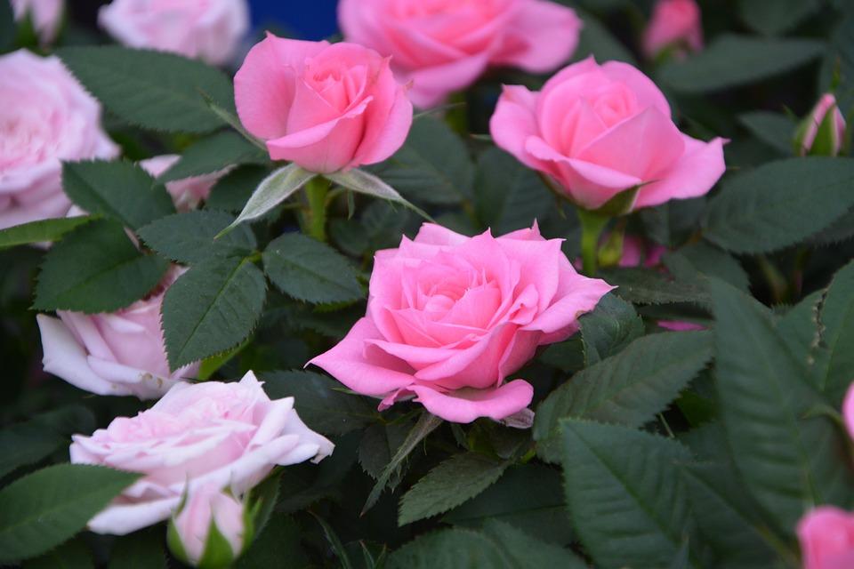Pink, Rosebush, Color Pink, Climbing Rose, Green Leaves