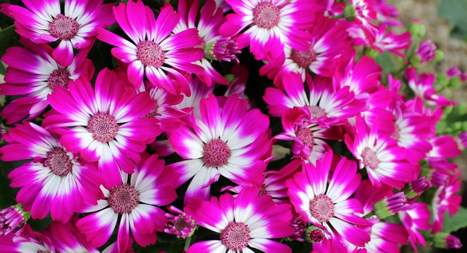 Flowers, Cineraria, Plant, Pink, Flora, Colour, Color