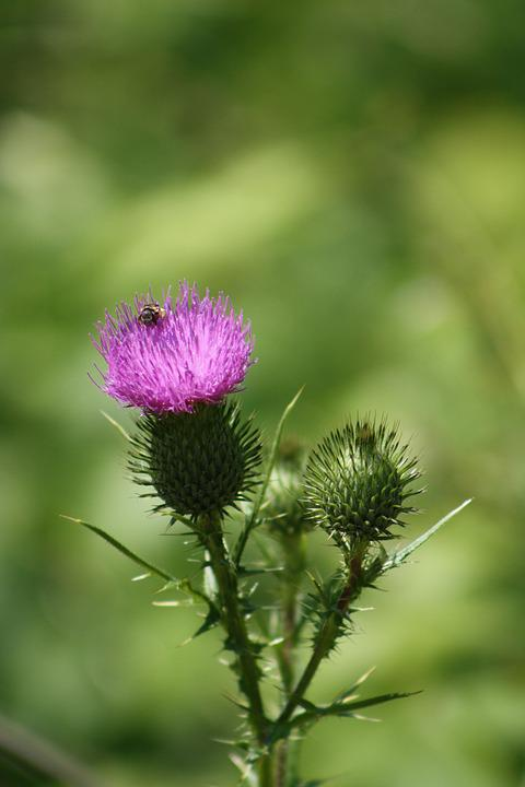 Thistle, Purple, Bee, Color, Butterfly, Pin, Wildflower