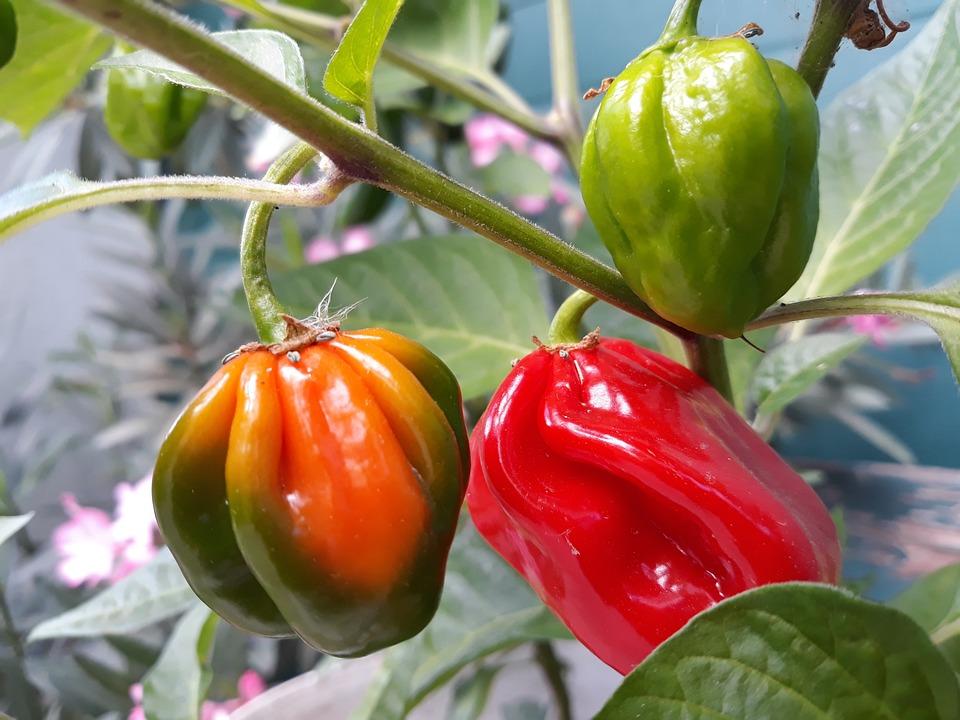 Paprika, Vegetables, Red, Green, Food, Plant, Color
