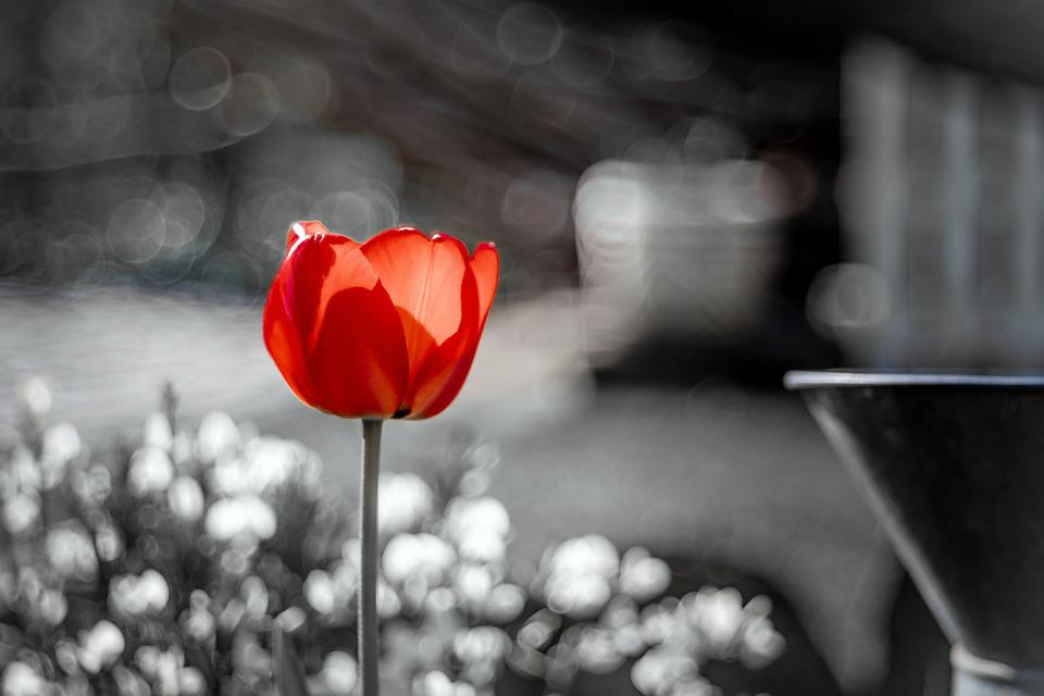 Red Tulip, Flower, Red, Tulip, Garden, Plant, Color