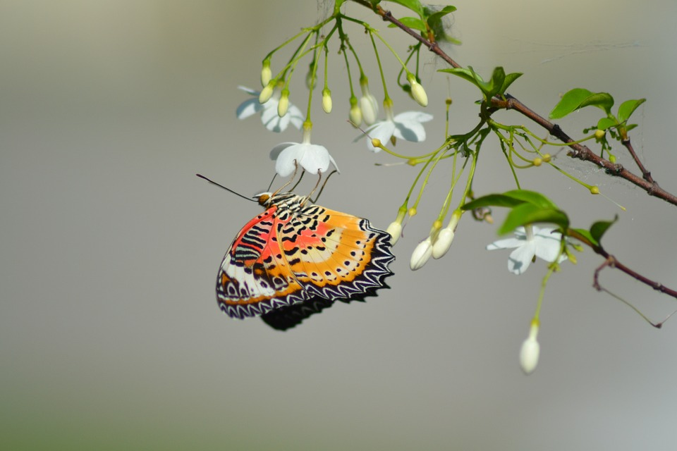 Butterfly, Thailand, Butterflies, Color, Nature, Bug