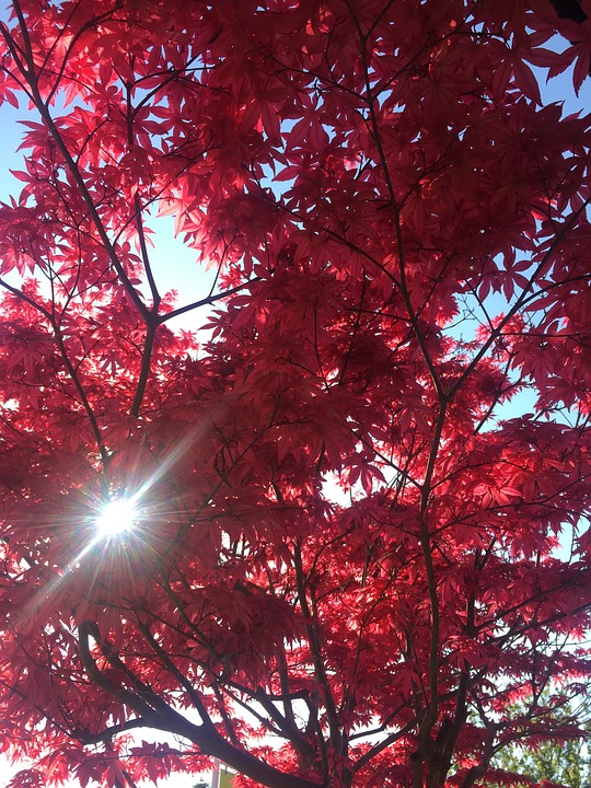 Tree, Red, Nature, Autumn, Leaves, Color, Shiny, Light