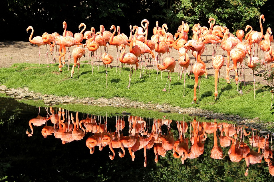 Flamingos, Cuba Flamingos, Color, Water Reflection
