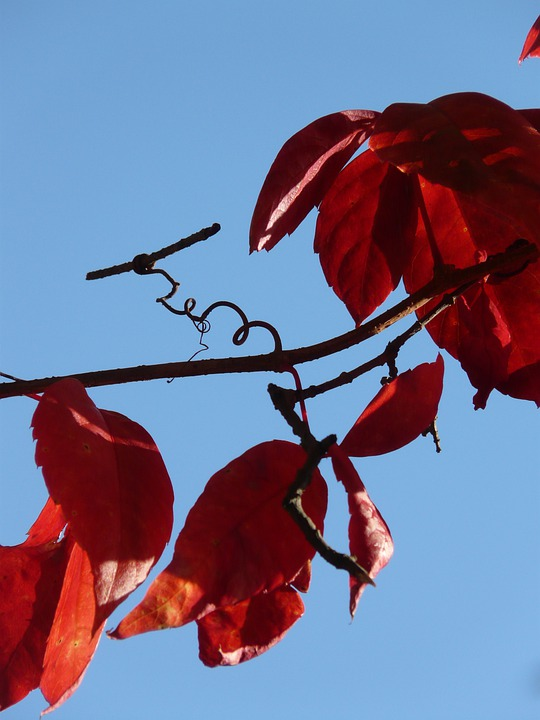 Vine, Wine Partner, Autumn, Wine, Color, Red, Emerge