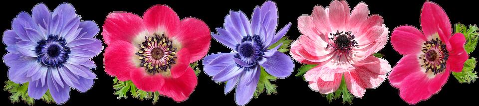 Flowers, Anemone, Petals, Colorful, Cut Out