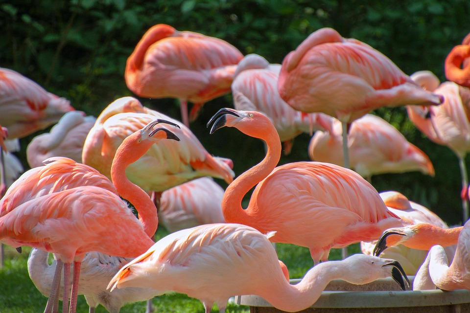 Flamingos, Animal World, Pink, Colorful, Plumage, Bird