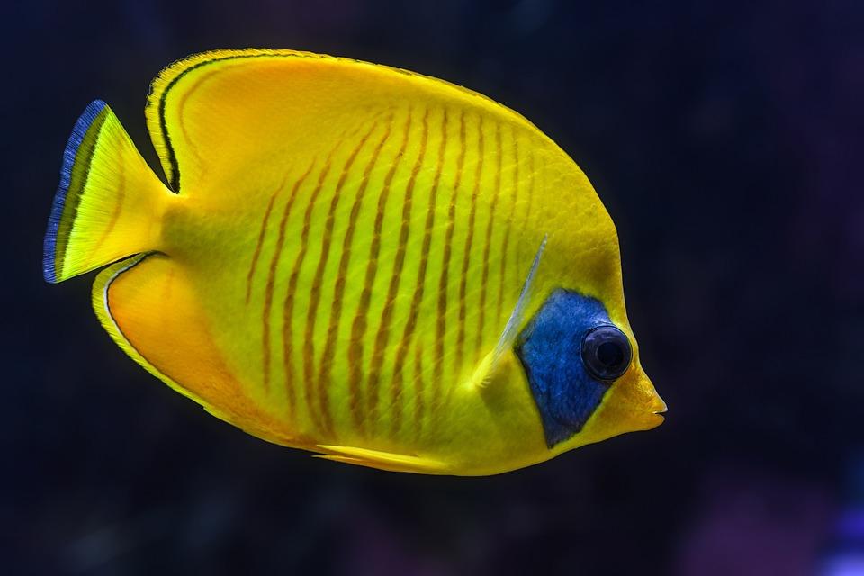 free photo colorful aquarium fish yellow tropical animal max pixel