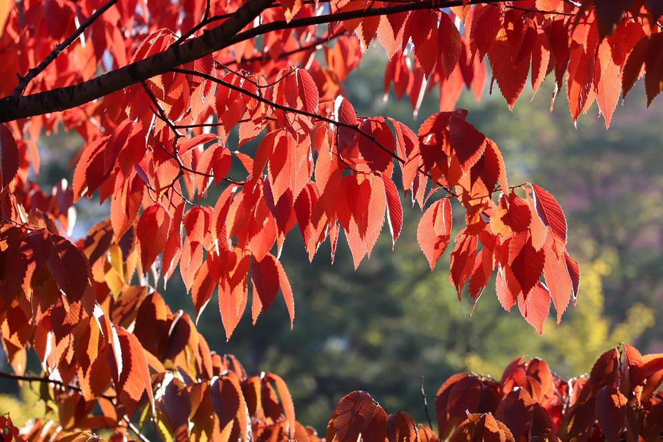 Autumn Leaves, Autumn, Maple, The Leaves, Colorful