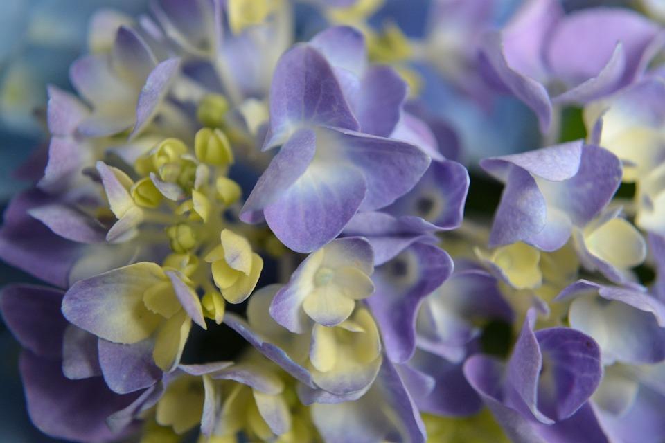 Hydrangea, Purple, Flower, Blossom, Colorful, Blue