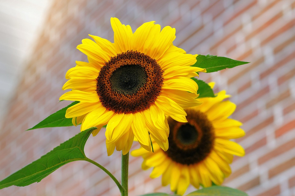 Sunflower, Flowers, Bright, Yellow, Colorful