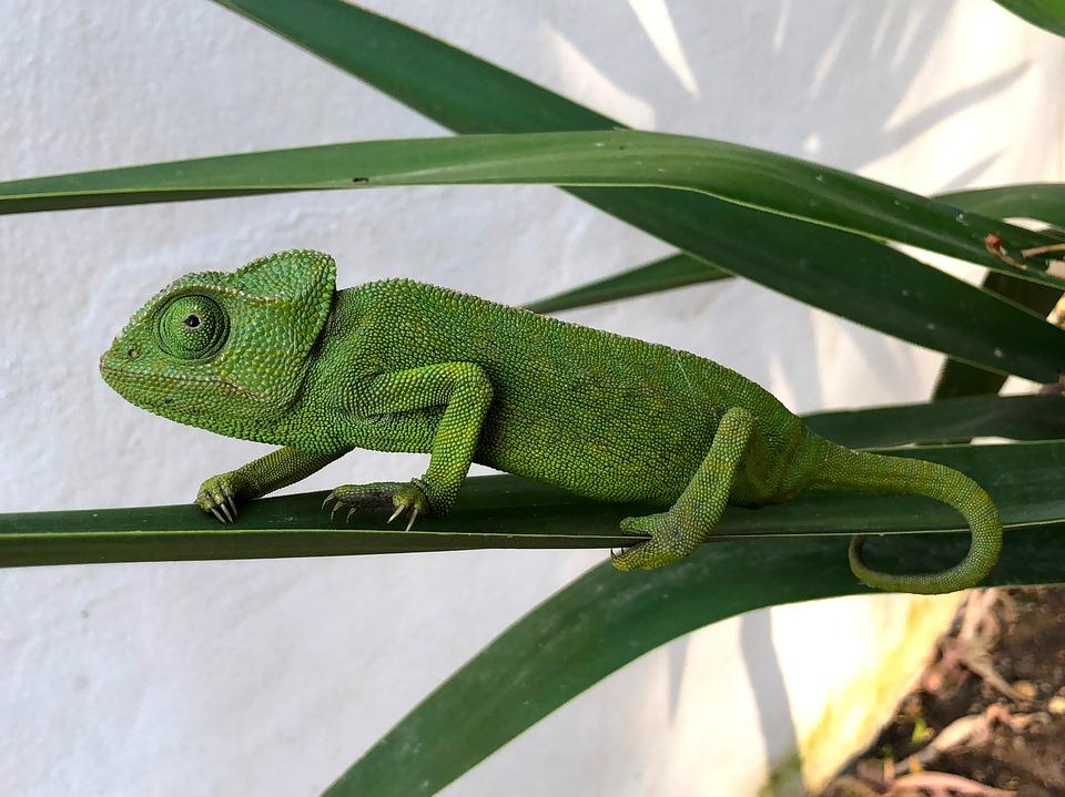 Chameleon, Nature, Reptile, Colorful, Green, Camouflage