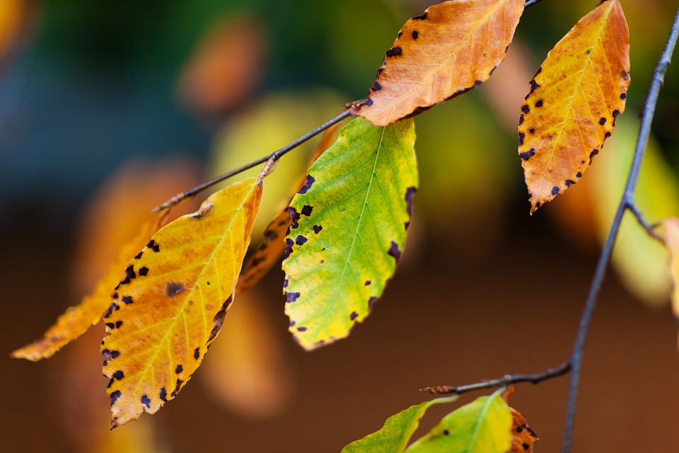 Autumn, Beech, Branch, Brown, Color, Colorful, Fall