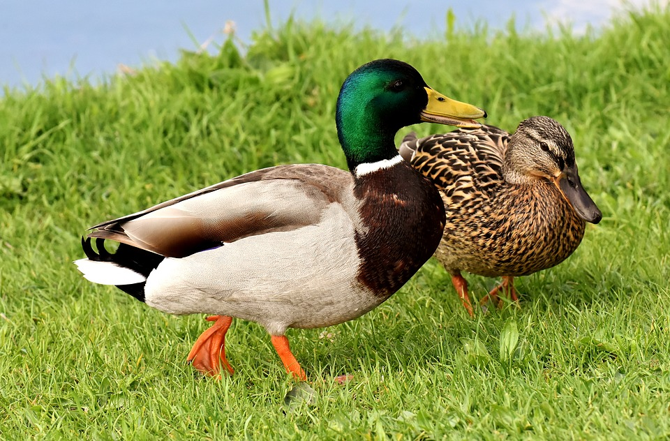 Ducks, Pair, Mallards, Colorful, Water Bird, Couple