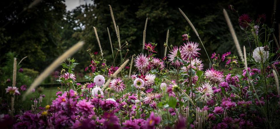Dahlias, Dahlias Field, Flowers, Colorful, Late Summer