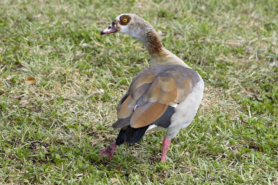 Bird, Injured, Broken Leg, Limping, Colorful Duck, Duck