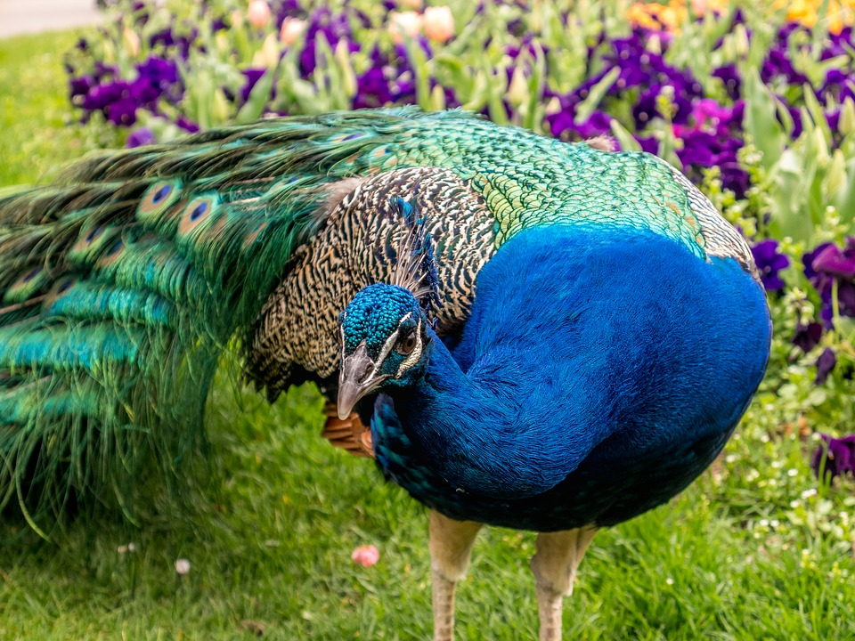Peacock, Feather, Animal, Colorful, Zoo, Nature, Bird