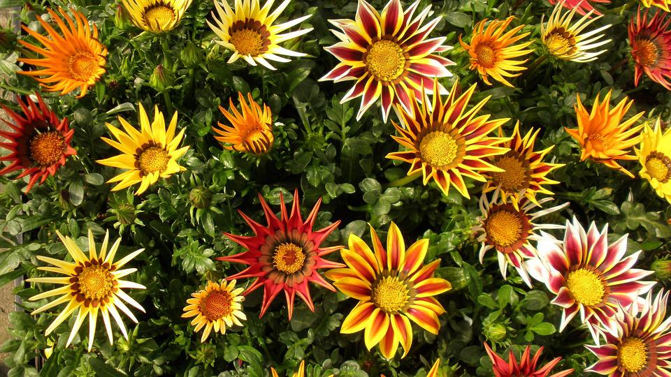 Gazania, Flowers, Plant, Colorful, Flower Bed