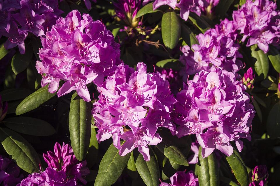 Flower, Flowering Shrub, Bright, Colorful, Farbenpracht
