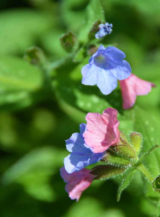 Pulmonaria, Flower, Flowers, Macro, Colorful, Nature