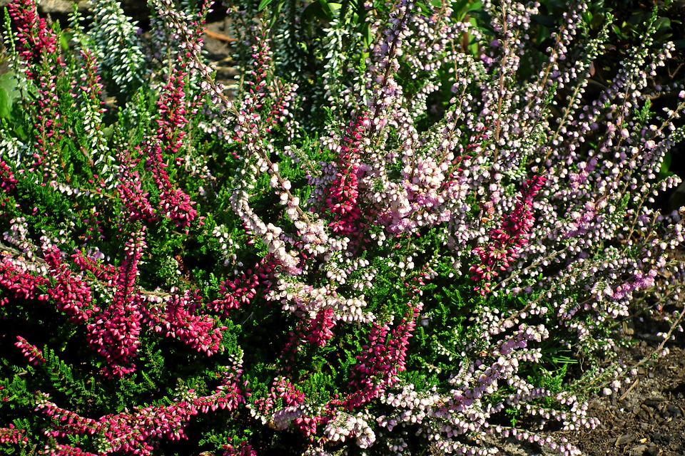 Flowers, Heathers, Colorful, Nature, Garden, Flowering