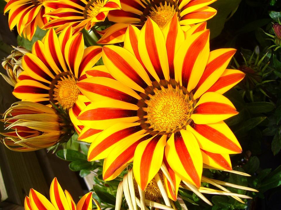Gazanias, Flower, Garden Flower, Colorful, Bright