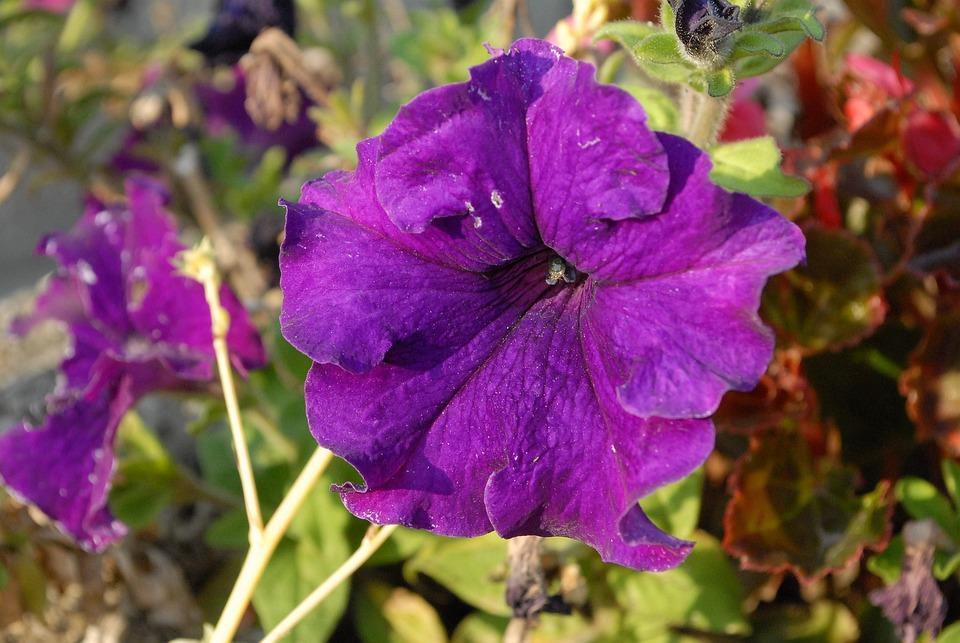 Flowers, Petunias, Garden, Purple, Colorful