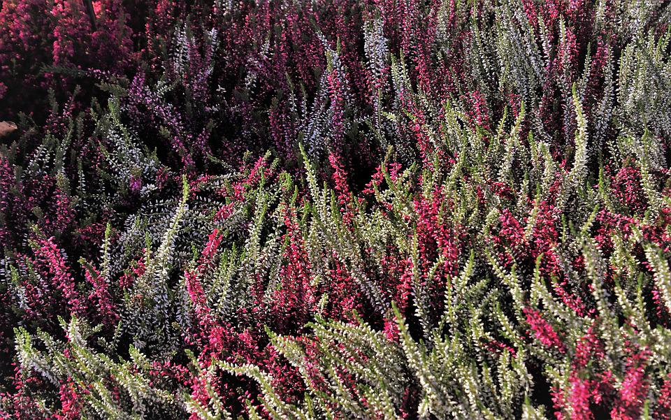 Heathers, Autumn, Colorful, In The Shadows, Heide, Wind