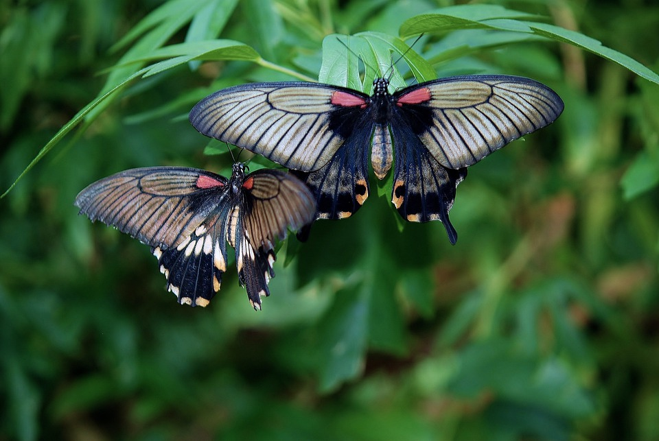 Black, Butterfly, Red, White, Insect, Colorful, Wings