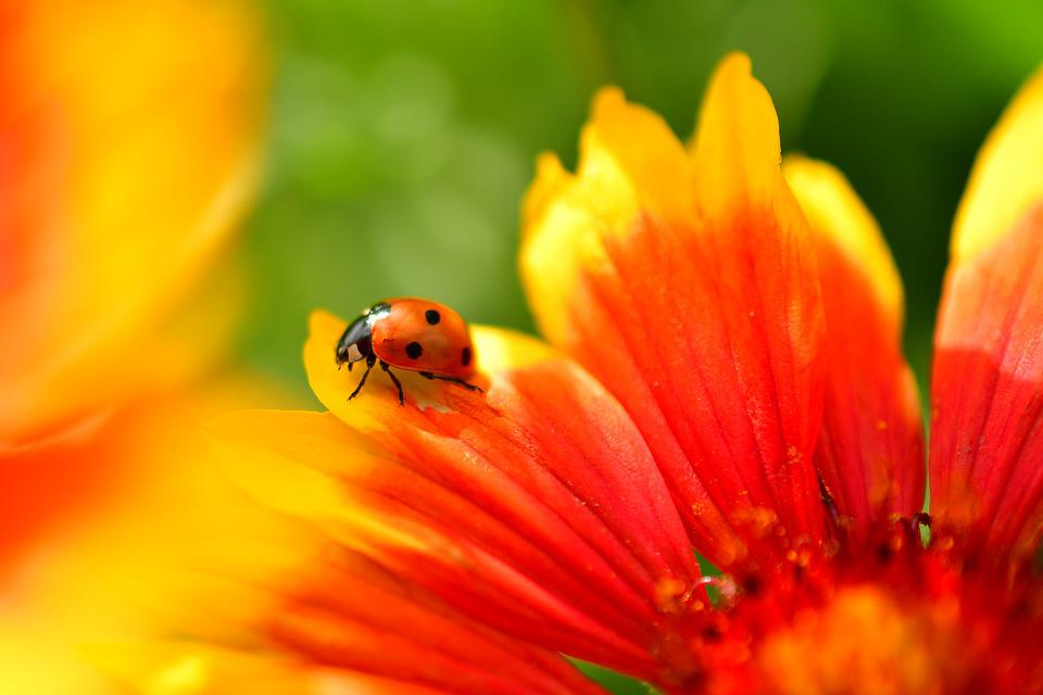 Bug, Ladybug, Small Insects, Flower, Colorful Insects