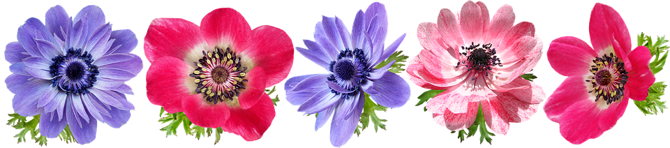 Flowers, Anemone, Petals, Colorful, Cut Out, Isolated