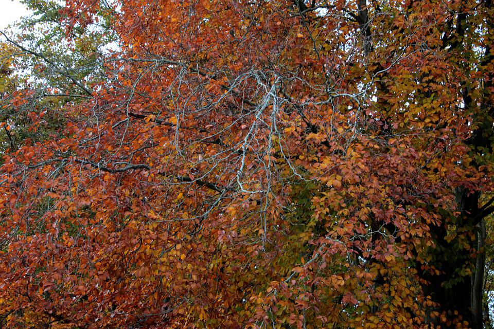 Beech, Leaves, Branch, Autumn, Colorful, Autumn Forest