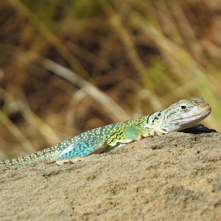 Reptile, Lizard, Colorful, Hiking, North Texas