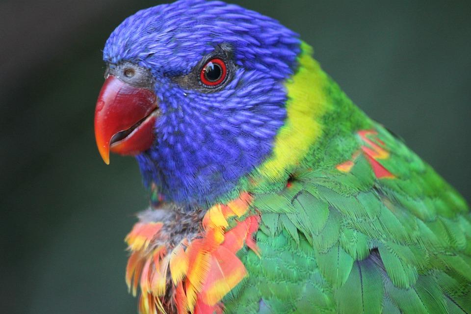 Colorful, Bird, Rainbow, Parakeet, Lorikeet, Blue