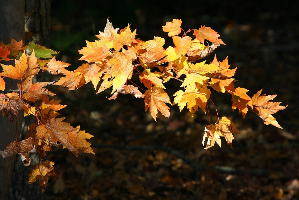 Yellow Leaves, Maple, Autumn, Fall, Colorful, Sunlit