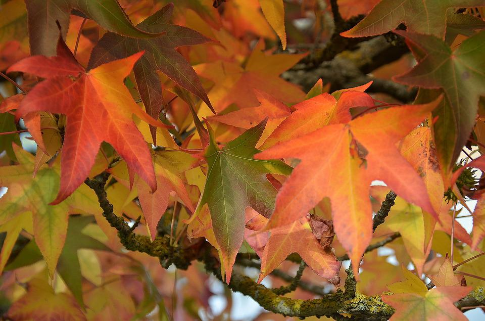 Nature, Leaves Fall, Colorful, Maple