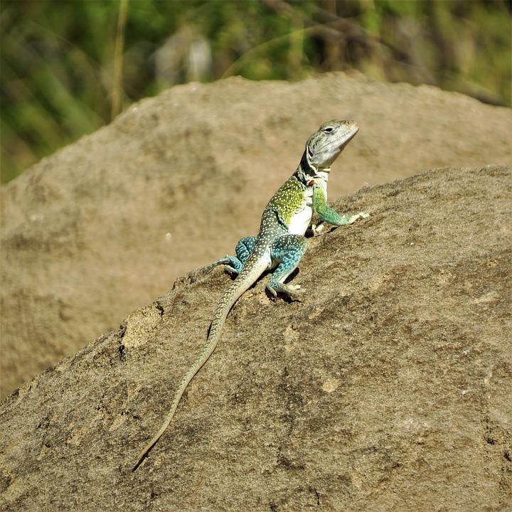 Reptile, Lizard, Colorful, North Texas